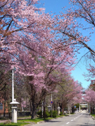 神社の桜.jpg